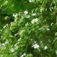 5月28日 マルバウツギ(丸葉空木)